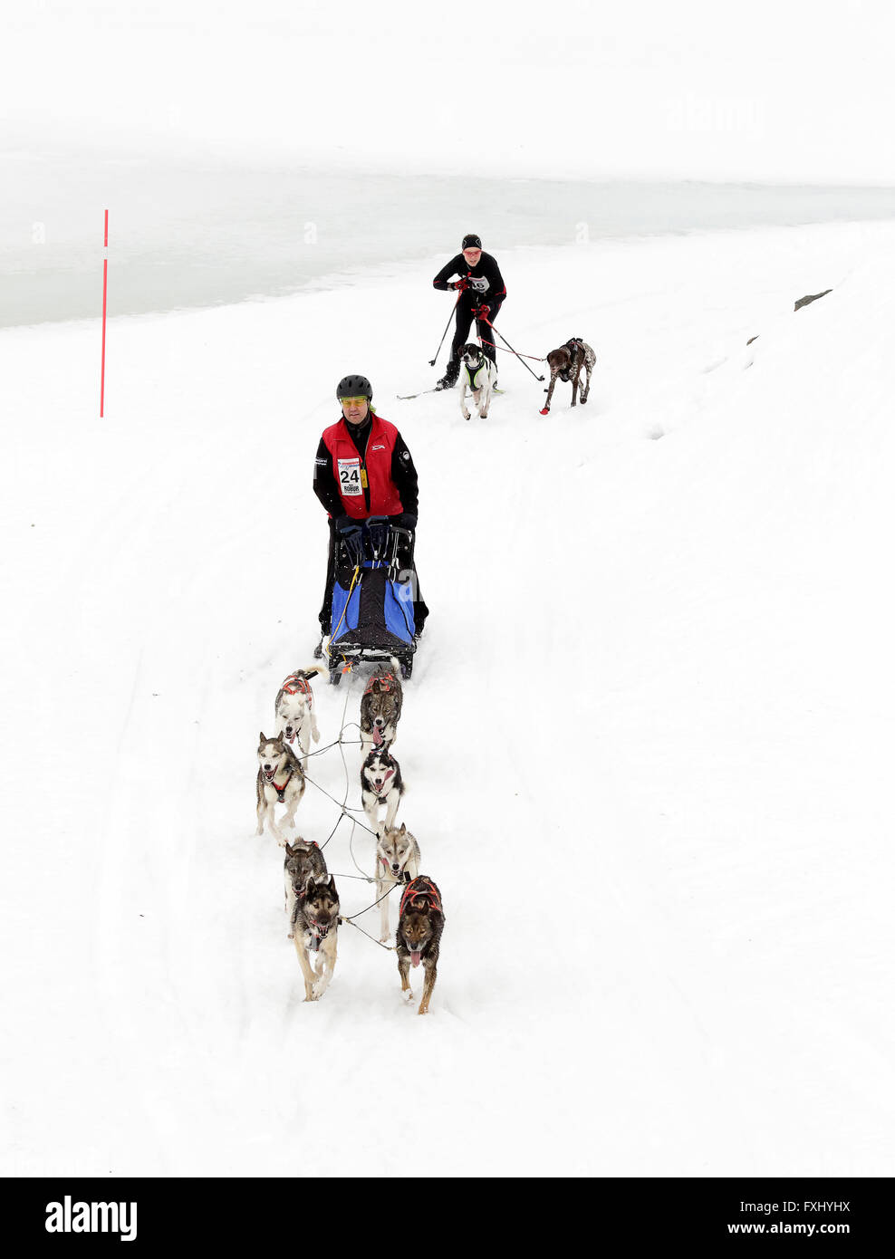 A team of huskies pulling a one-man sledge followed by two dogs and a skier. - Stock Image