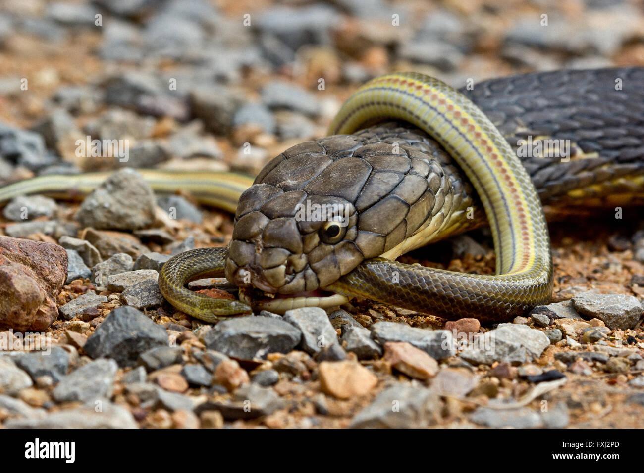 King Cobra Eats Smaller Snake