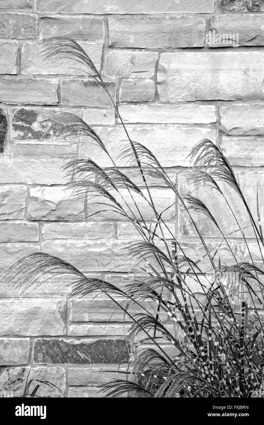 Zebra Grass next to a stone wall - Stock Image