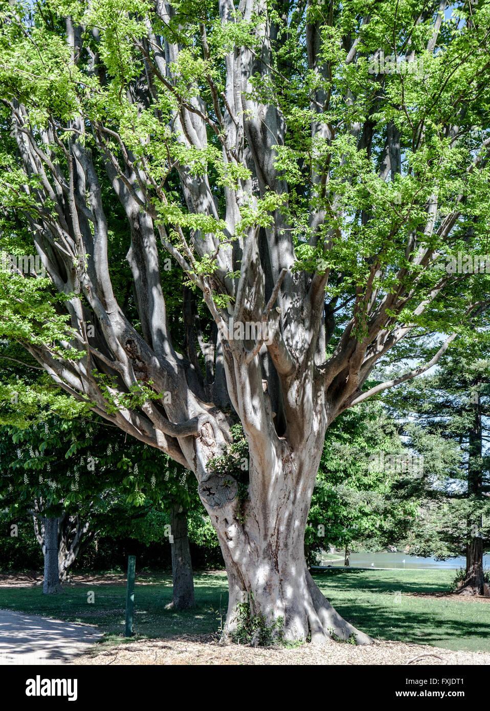 zelkova carpinifolia - Stock Image