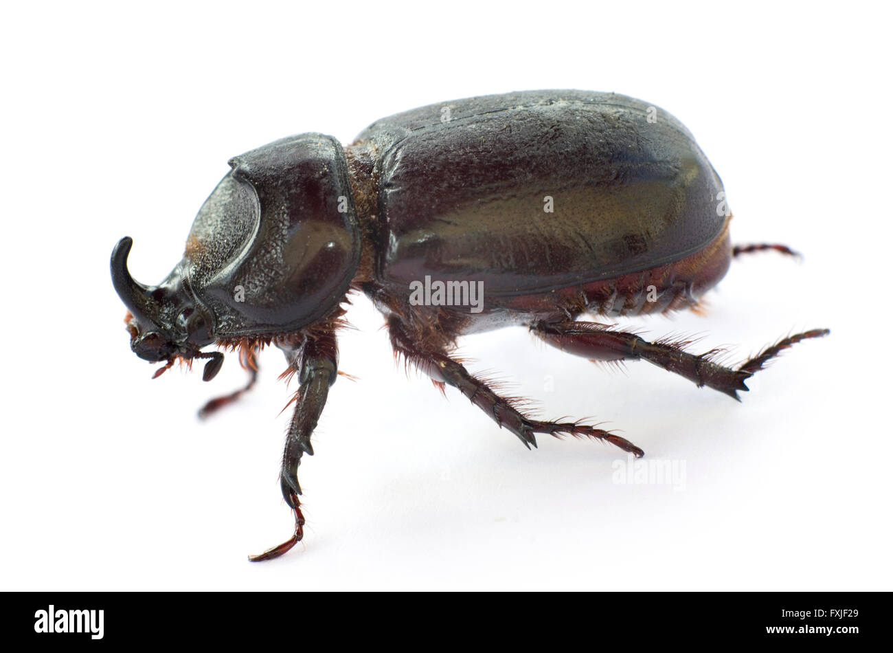 Asiatic Rhinoceros beetle (Coconut beetle) on white background. Stock Photo