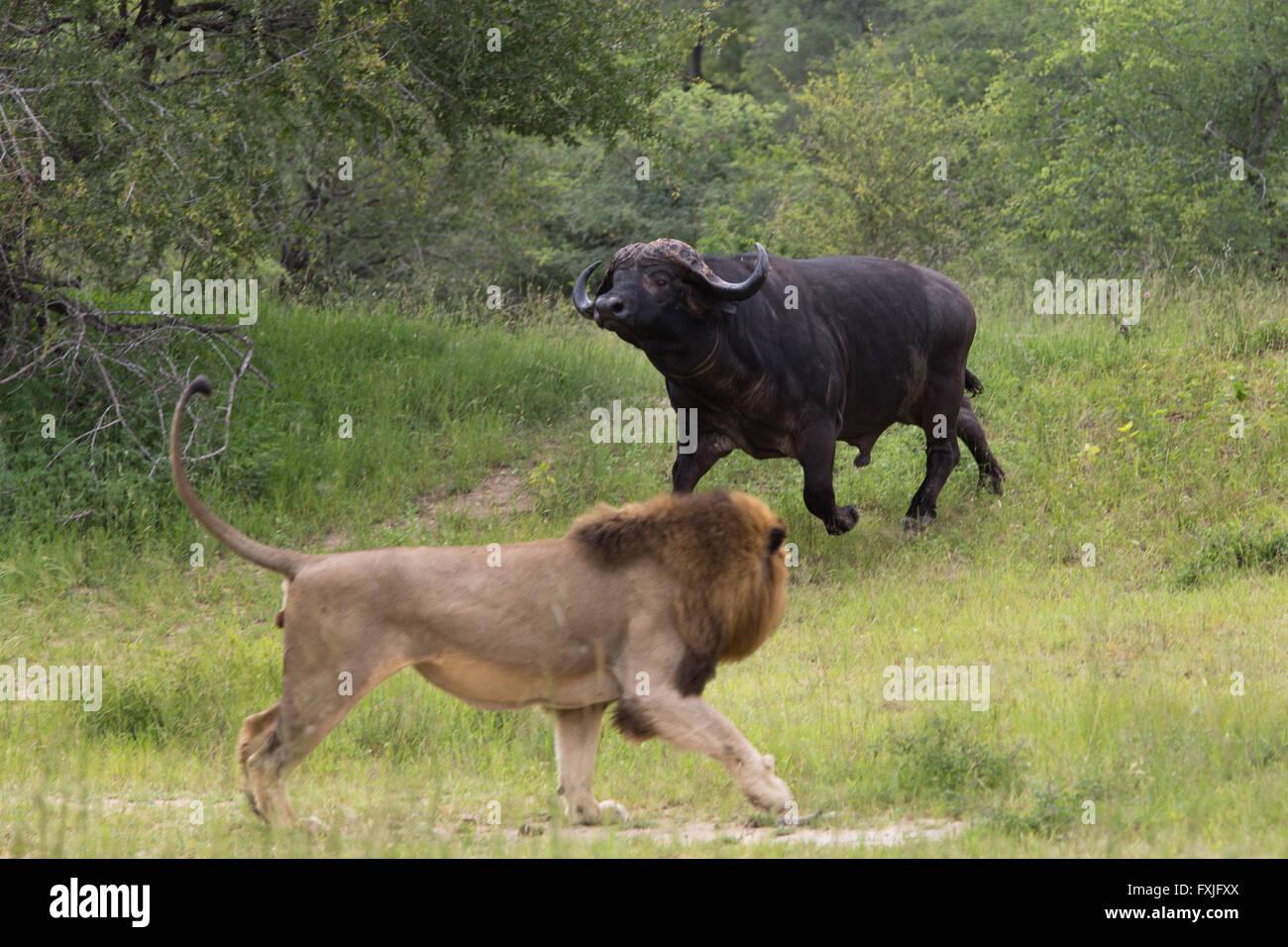 Lion Hunting Buffalo Stock Photos & Lion Hunting Buffalo