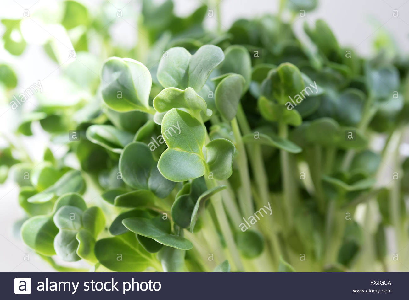 Close up of Radish Sprouts in Sunlight Stock Photo