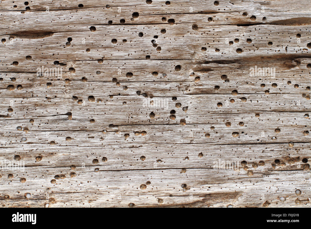 Driftwood plank background with marine worm or borer holes some filled with beach sand and shell grit - Stock Image