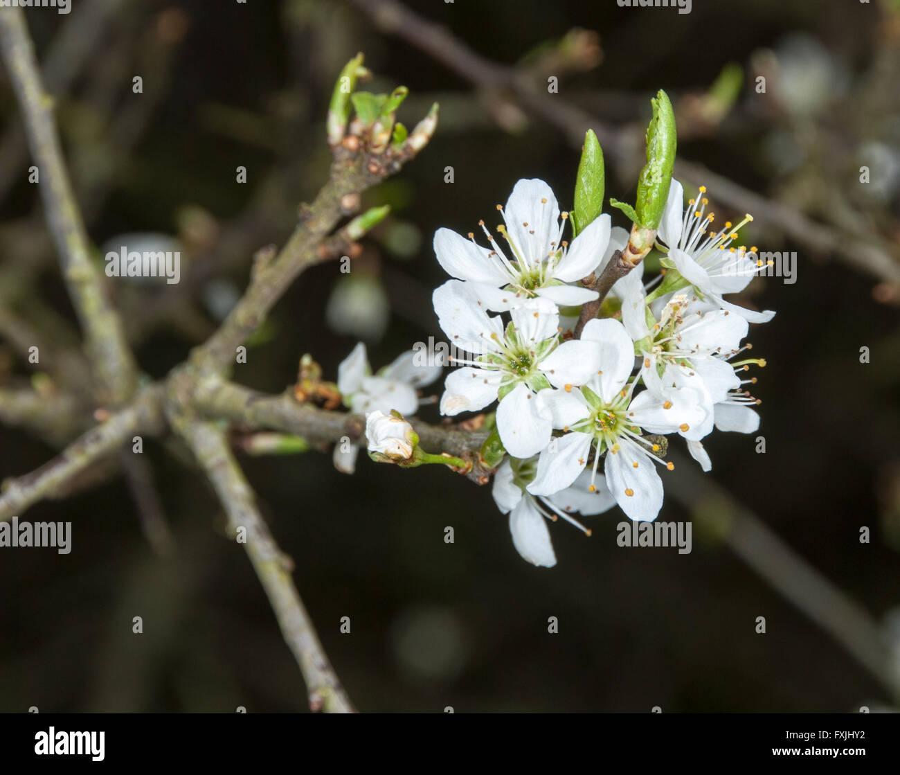 Twig of flowering blackthorn, Prunus spinosa, in spring - Stock Image