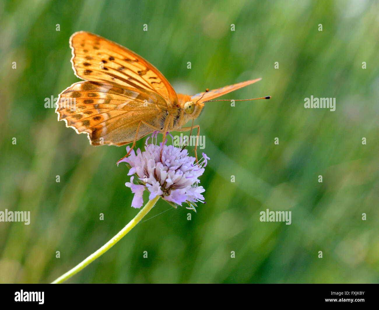 Male Silver-washed Fritillary butterfly (Argynnis paphia) feeding on scabiosa flower - Stock Image