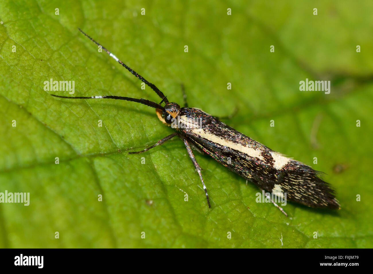Esperia sulphurella micro moth. Tiny brown moth with yellow markings, in the family Oecophoridae - Stock Image