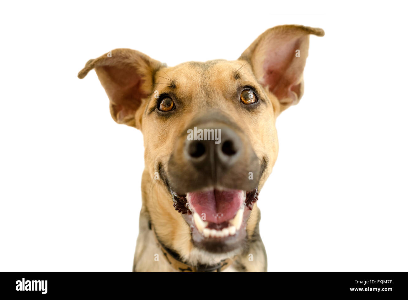 Hapy Dog Isolated On White Is A Cute Funny Enthusiastic German Stock