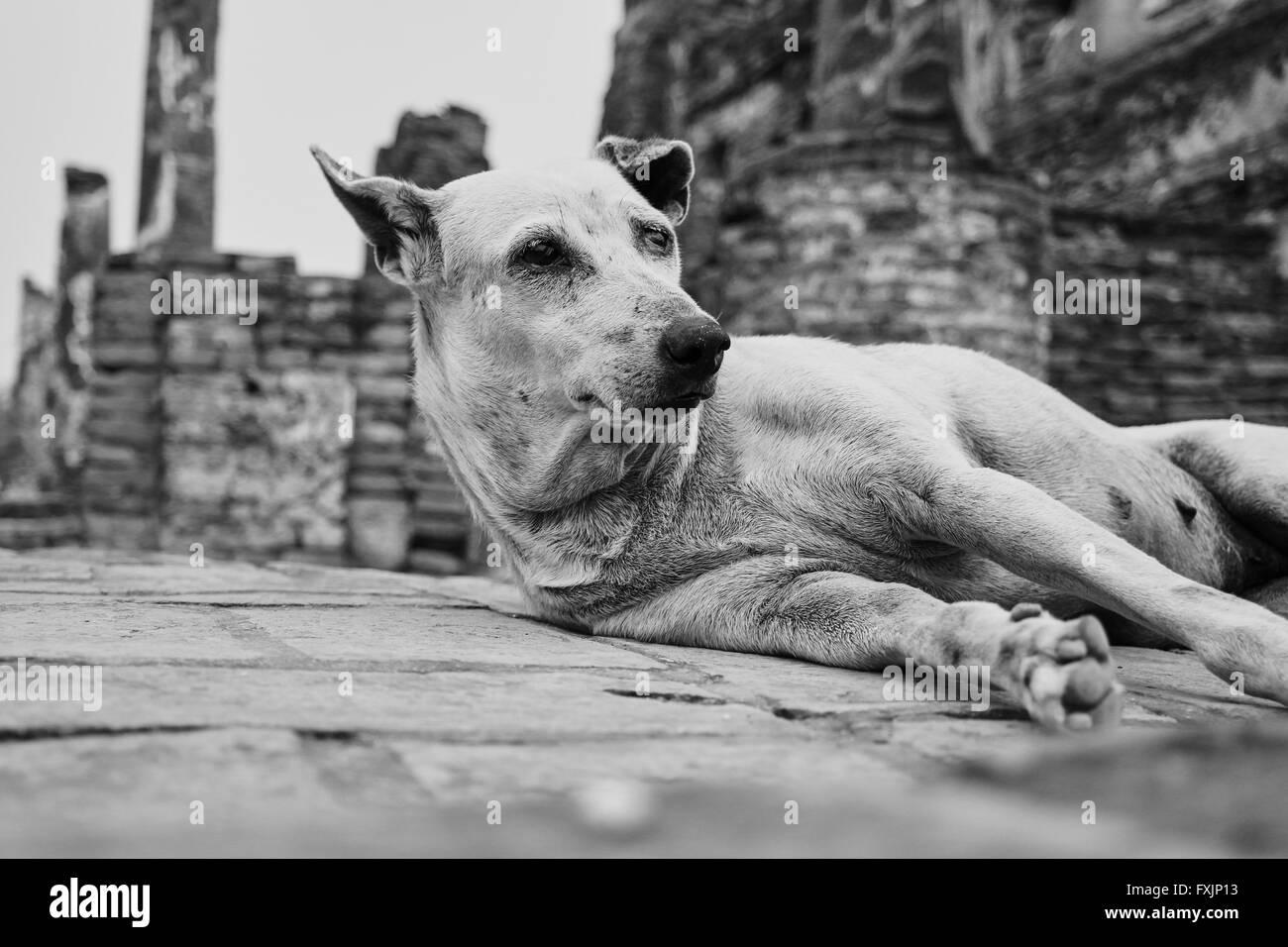 Stray dog in Ayutthaya -Thailand Stock Photo