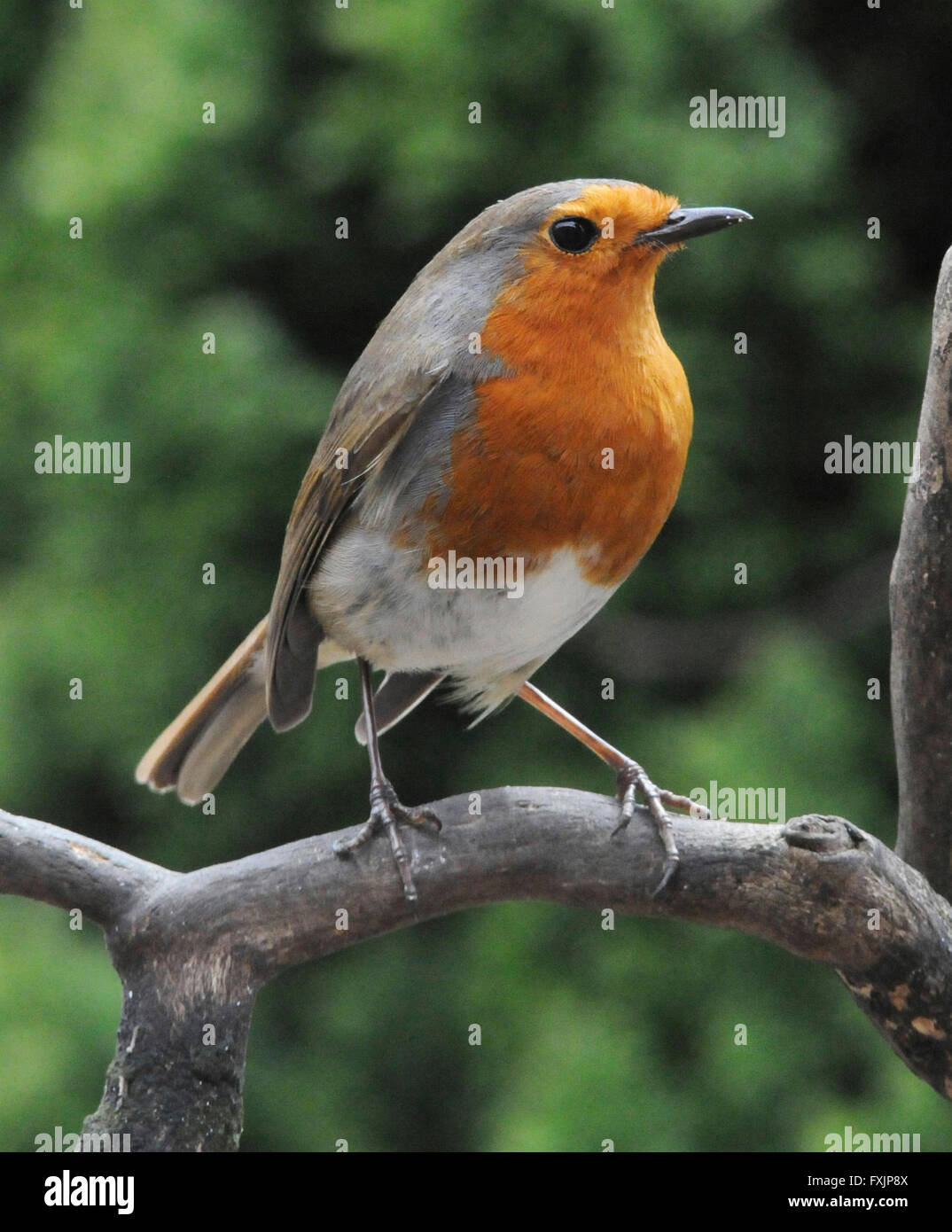 Robin (Erithacus rubecula)  The European Robin a common garden bird inclined to show aggression to other robins. - Stock Image