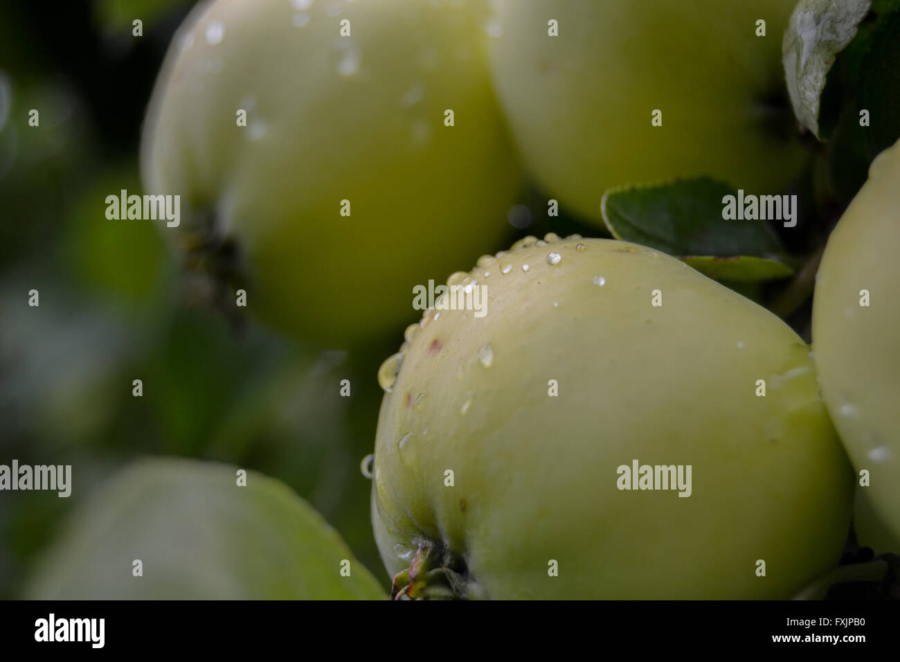Green apples in a an apple tree in the rainy weather Stock Photo