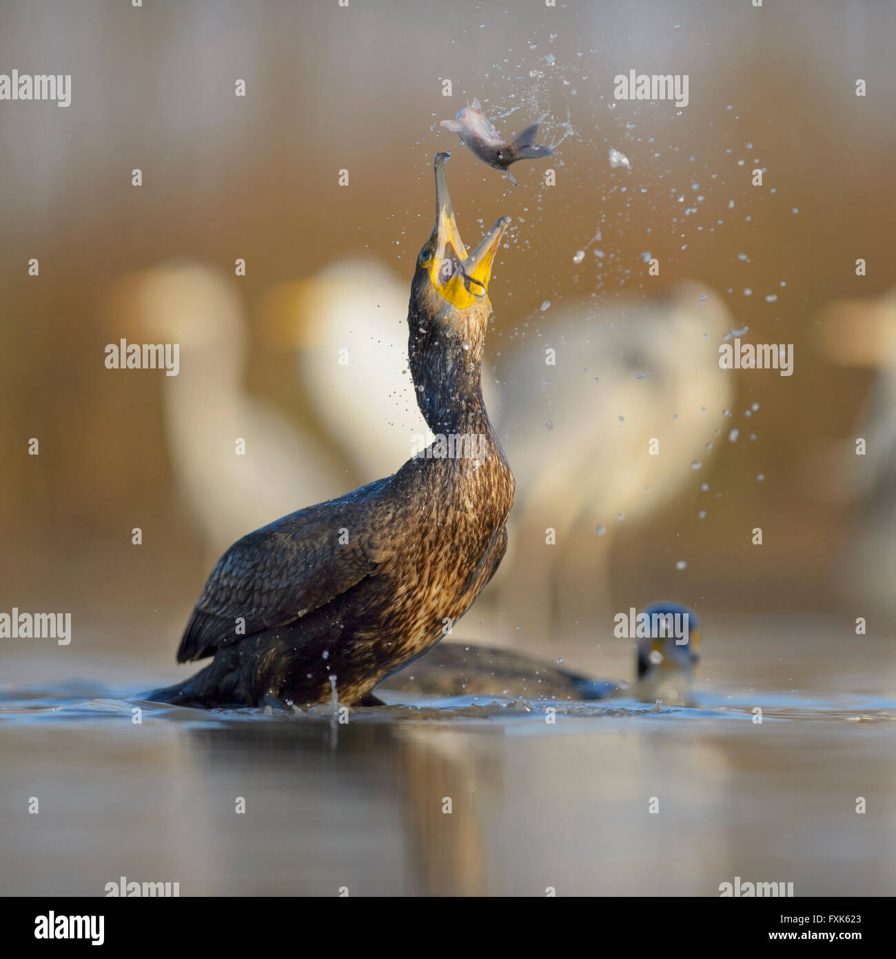 Cormorant (Phalacrocorax carbo), young bird from the previous year throwing its prey up for eating, Kiskunság - Stock Image