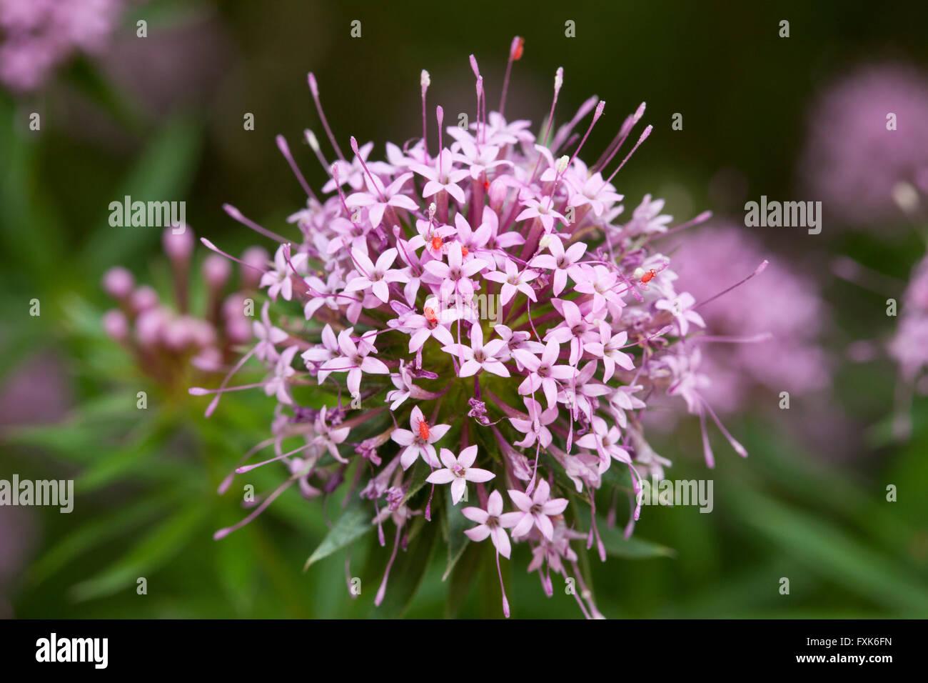 Creeping Crosswort (Phuopsis stylosa) - Stock Image