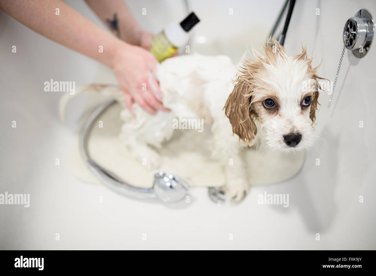 Vet giving shower to dog - Stock Image