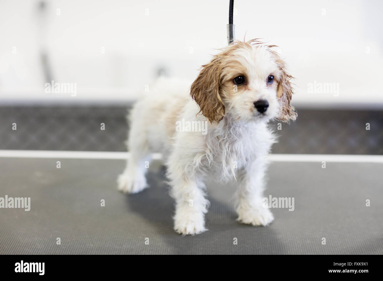 Dog standing on hydrotherapy treadmill - Stock Image