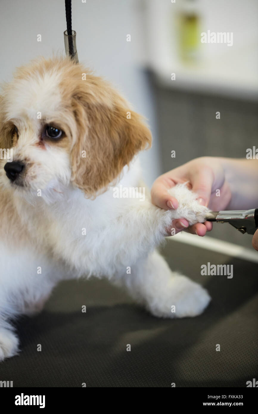 Dog getting nail trim by vet - Stock Image