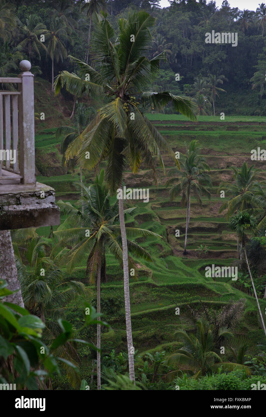 Rice Terraces located in Bali - Stock Image