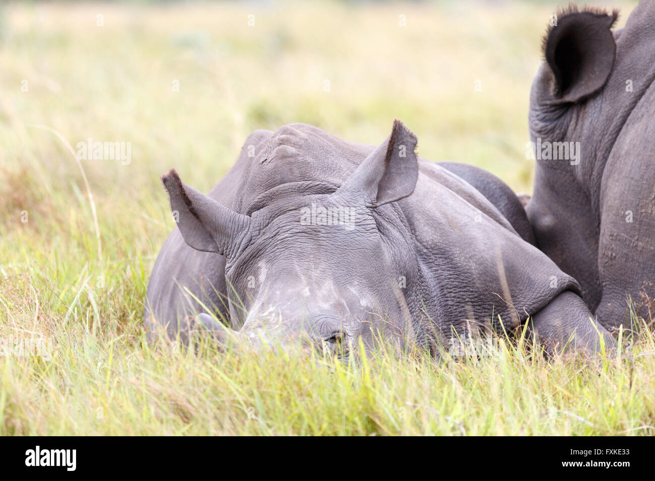 A rhinoceros, often abbreviated to rhino, is one of any five extant species of odd-toed ungulates in the family - Stock Image