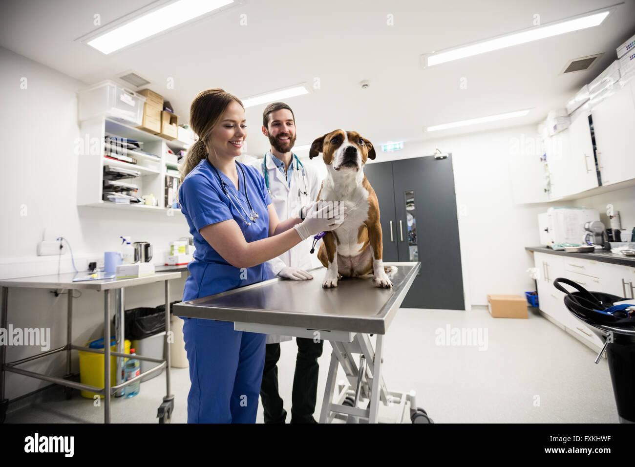 Vets examining dog - Stock Image