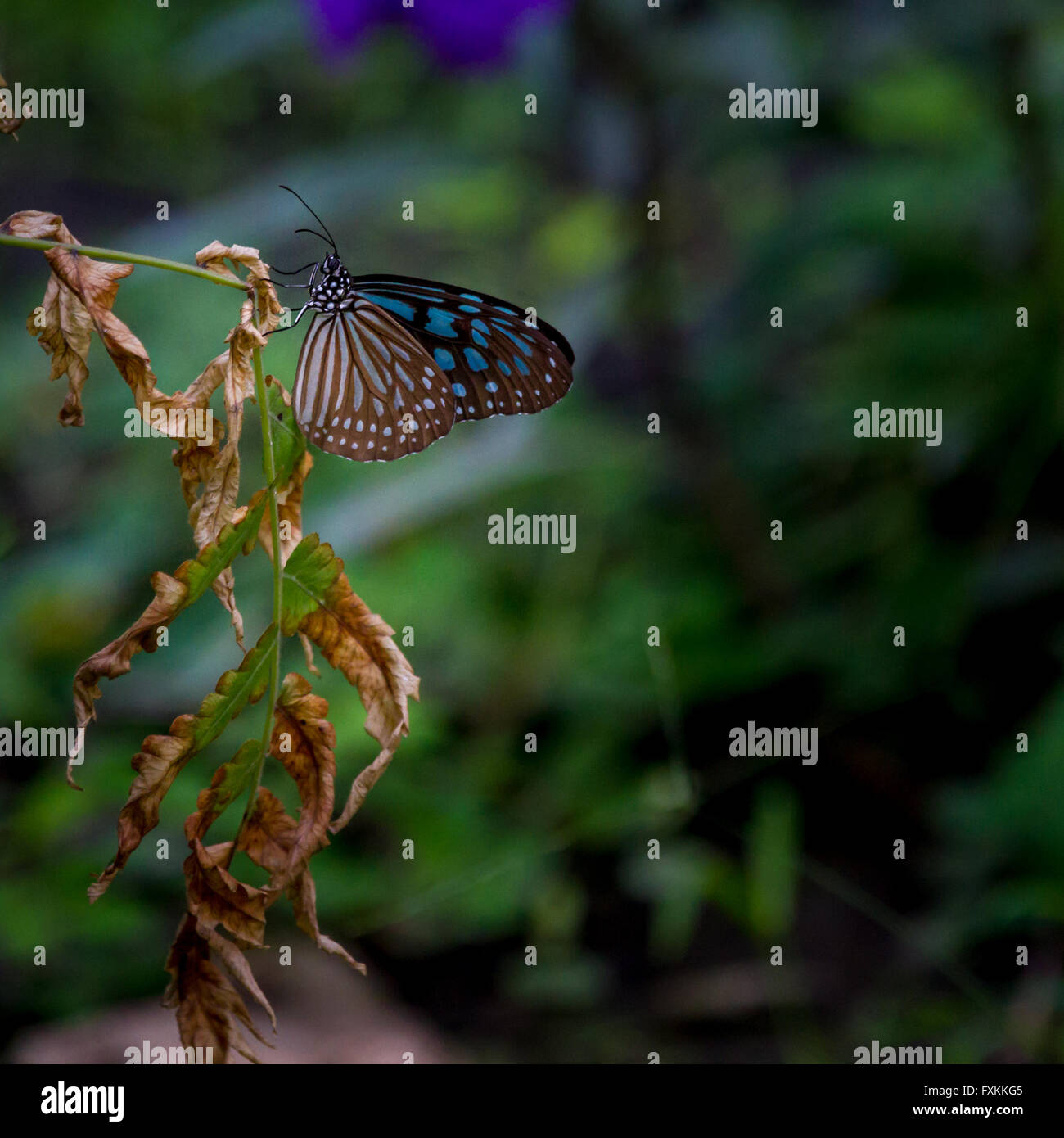 Glassy tiger butterfly, Mekong Delta, Vietnam - Stock Image