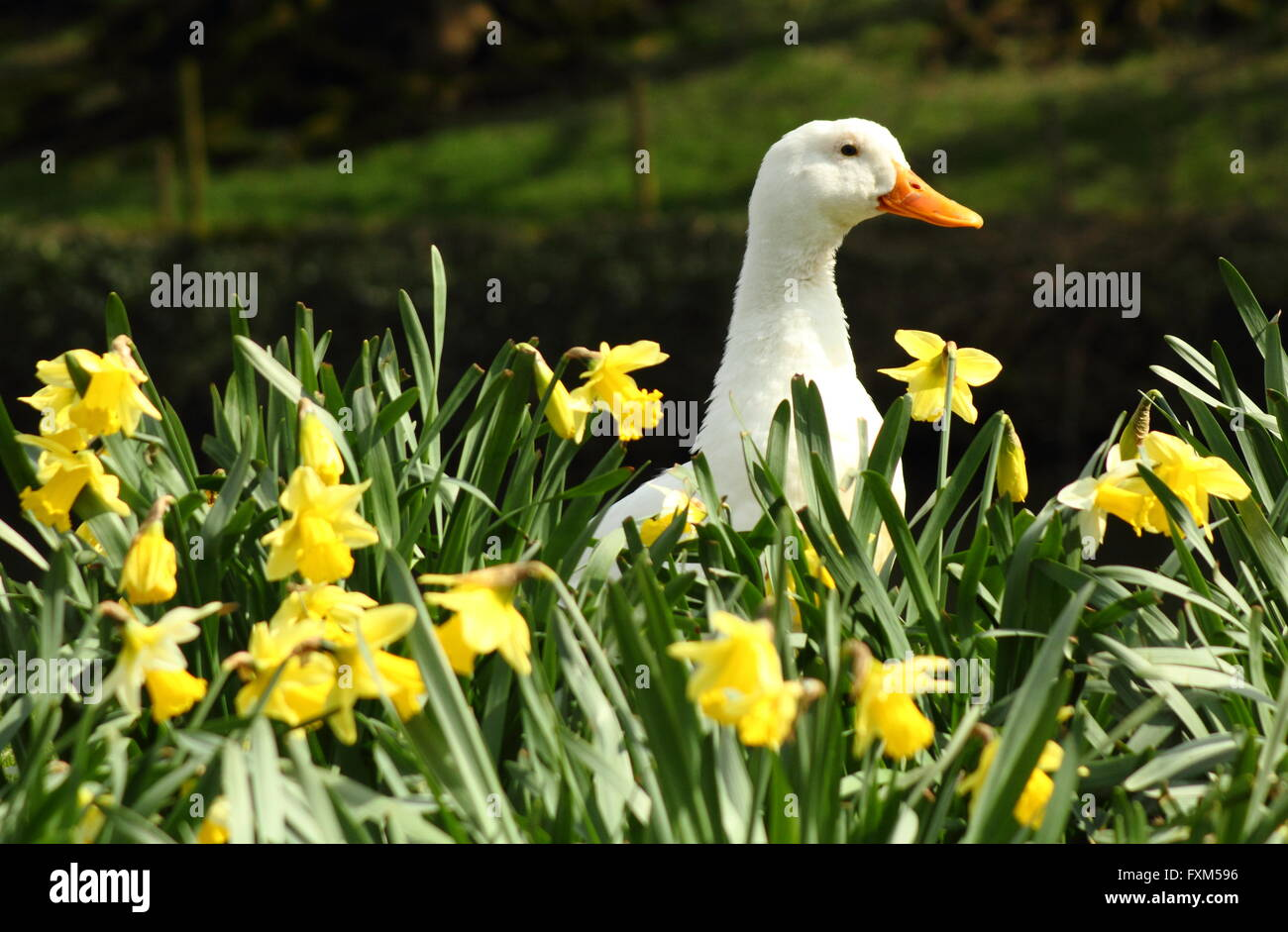 Daffodil Narcissus Bird High Resolution Stock Photography and Images - Alamy