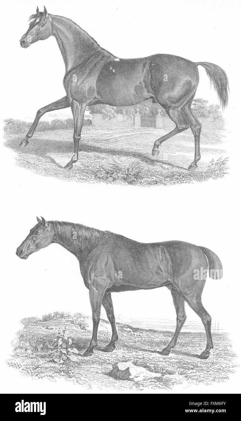 HORSES: Natural History XI Race, antique print c1849 - Stock Image
