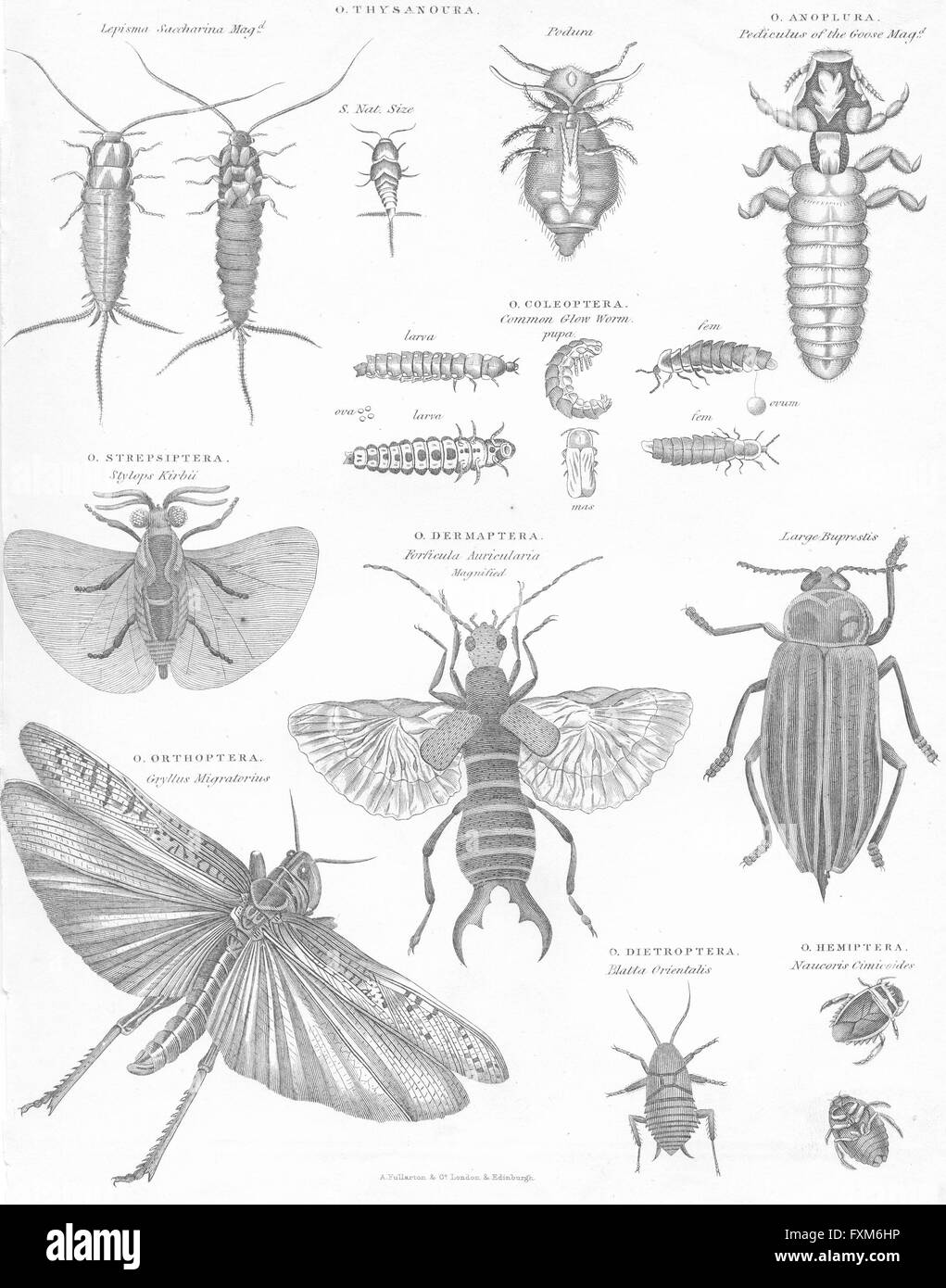 INSECTS: Natural history II Insects I, antique print c1849 - Stock Image