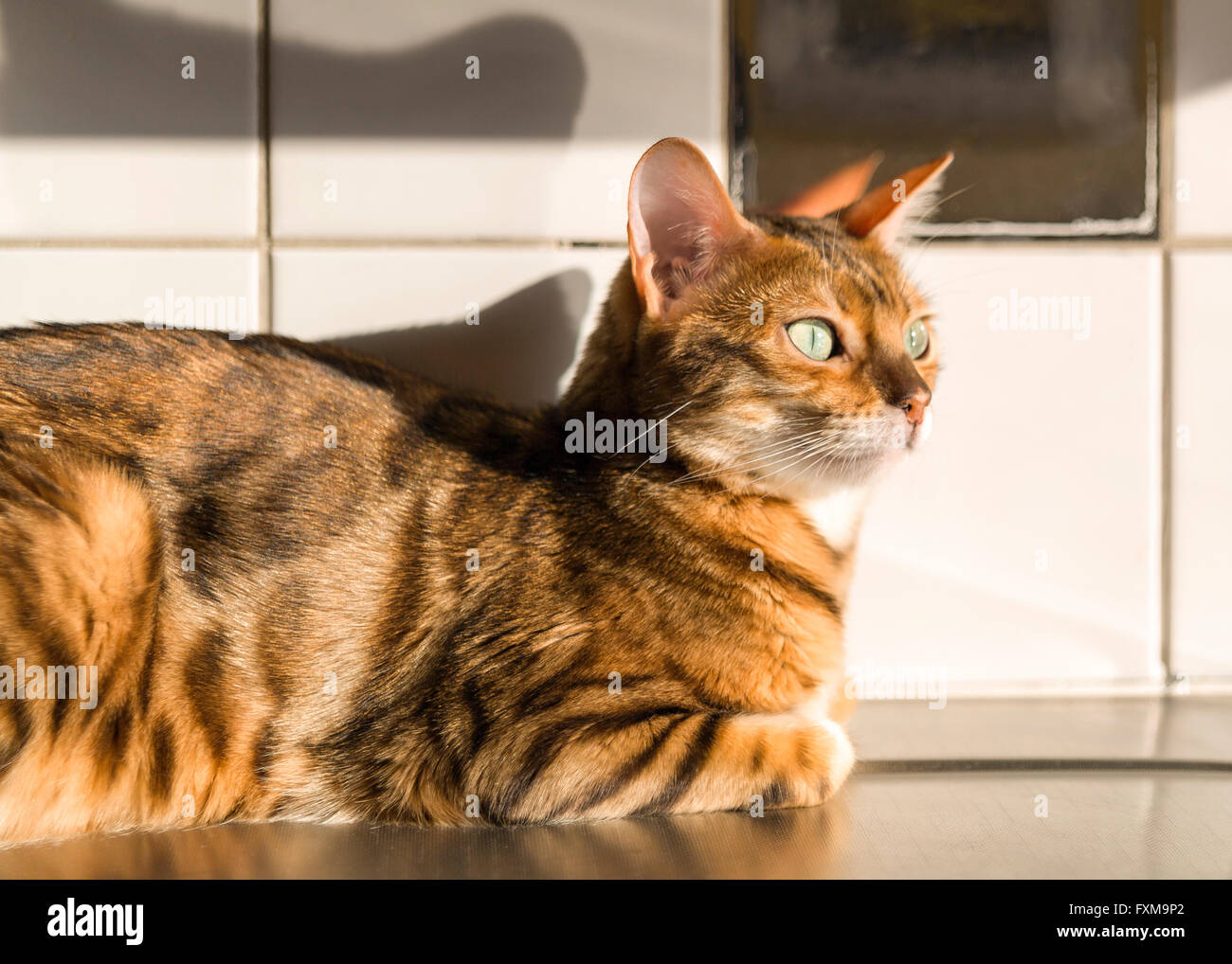 Female Bengal cat relaxing in the warmth from the sunlight on kitchen counter  Model Release: No.  Property Release: - Stock Image