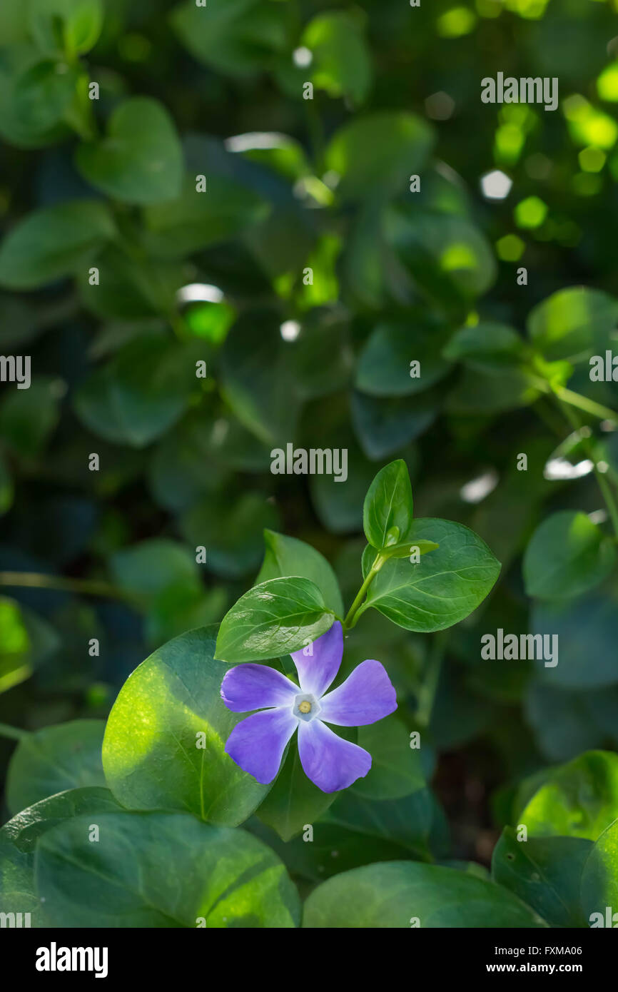 Photo of lilac periwinkle flower with bokeh background - Stock Image