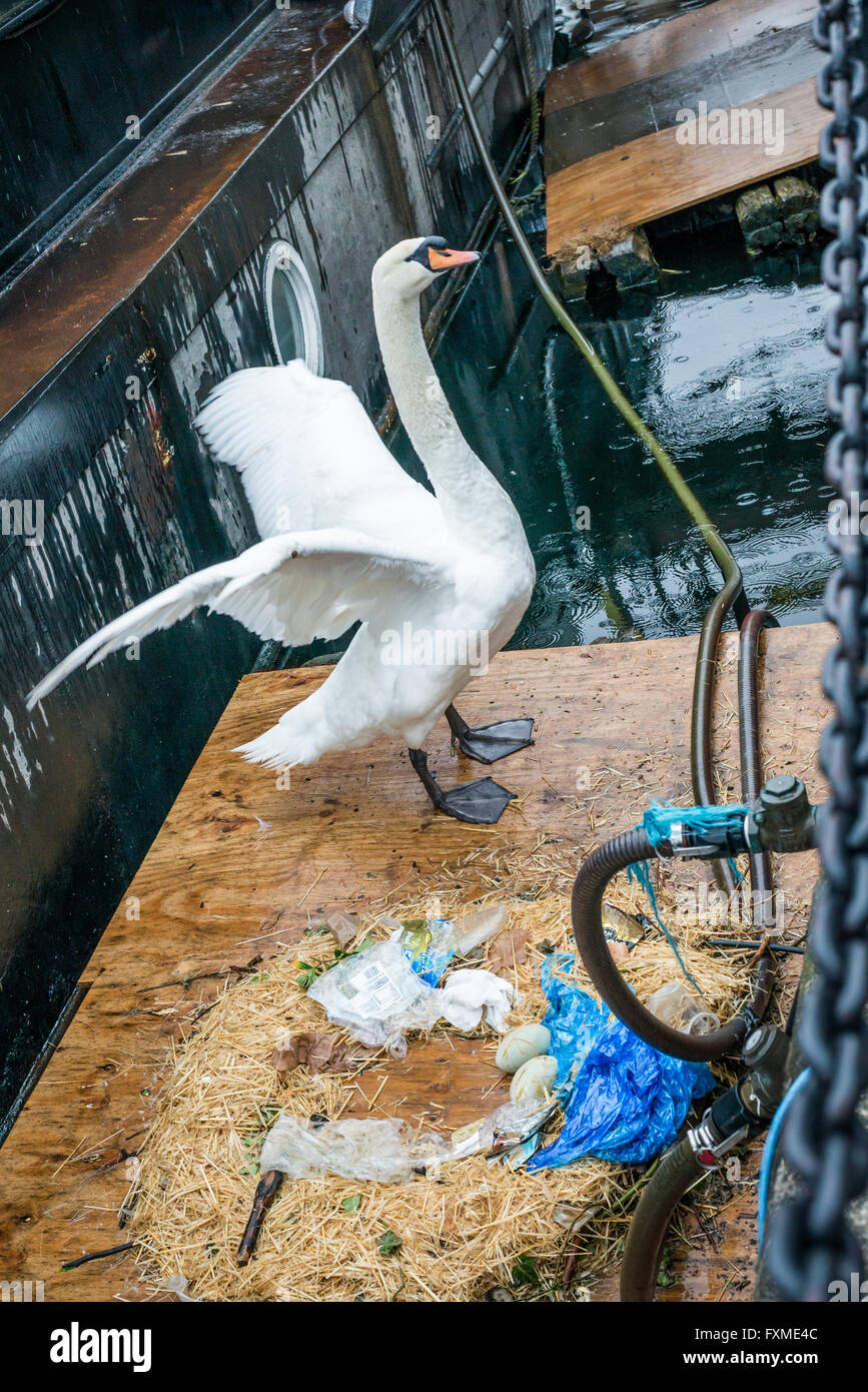 London, United Kingdom - April 15, 2016: Swan stretching wings next to its nest with two eggs Stock Photo