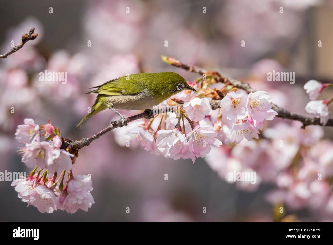 Cherry Blossoms in Sumida Park, Asakusa, Tokyo, Japan - Stock Image