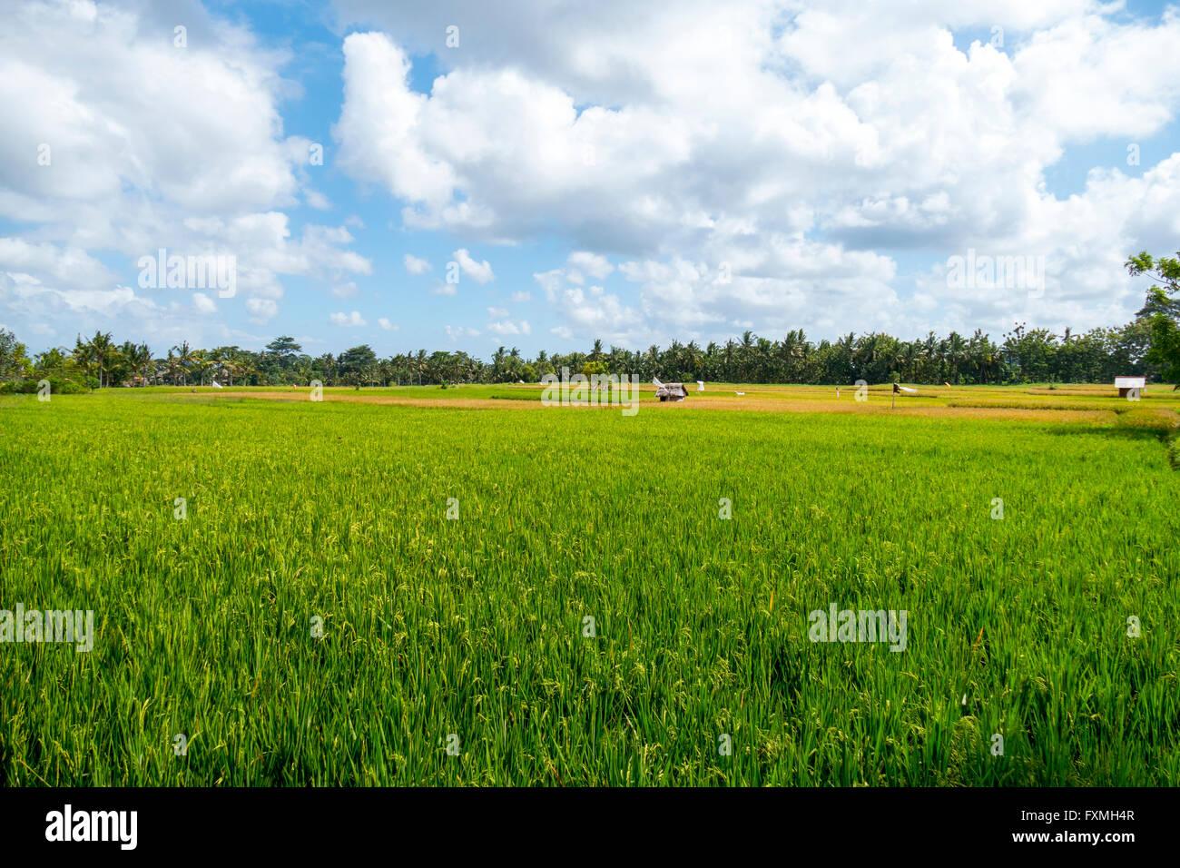 Landscape Field, Ubud, Bali, Indonesia - Stock Image