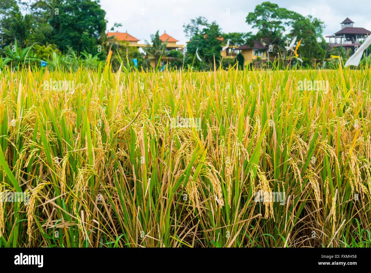 Rice Paddies, Ubud, Bali, Indonesia - Stock Image