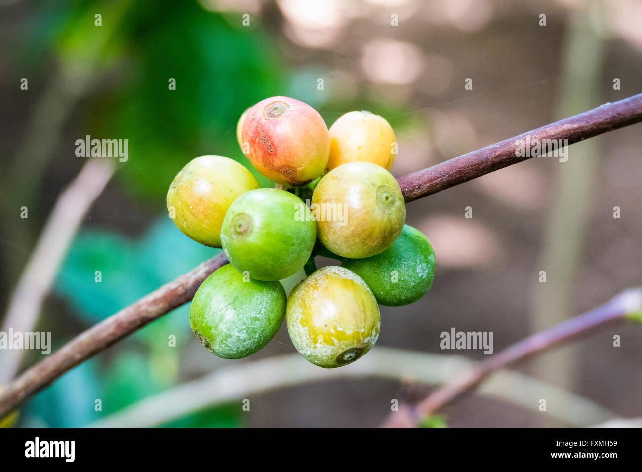 Coffee Berry, Ubud, Bali, Indonesia - Stock Image