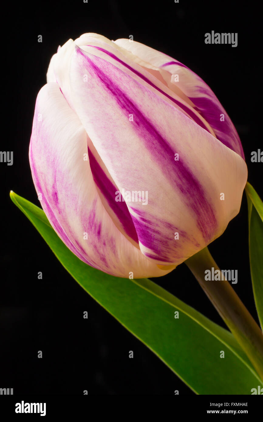 Lovely White And Purple Tulip - Stock Image