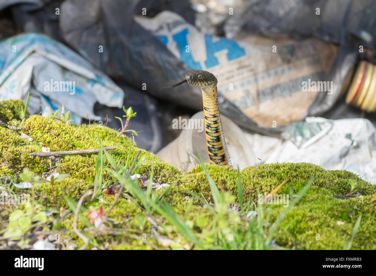 Curious Dice snake (Natrix tessellata) looking out from refuse pit at early spring season - Stock Image