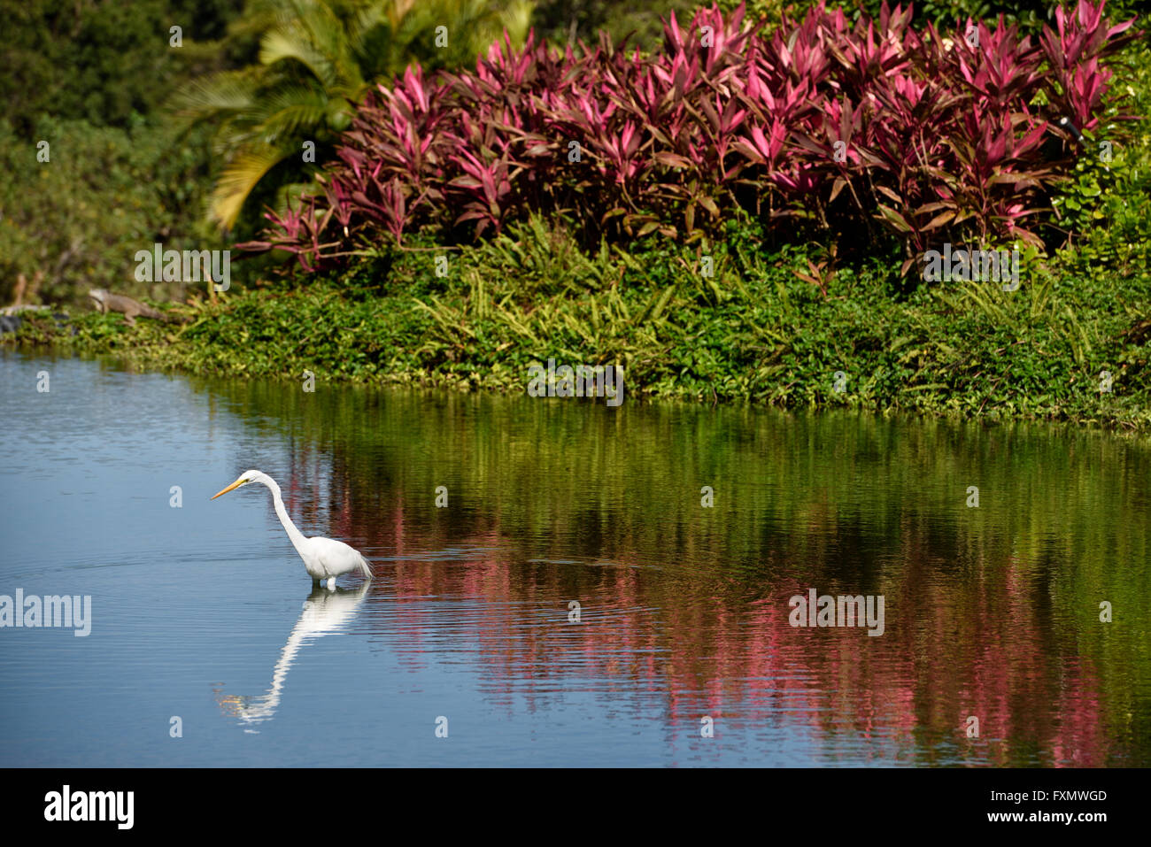 Great white egret hunting in a pond in a resort in Nuevo Vallarta Mexico with iguana and red Ti plant Mexico - Stock Image