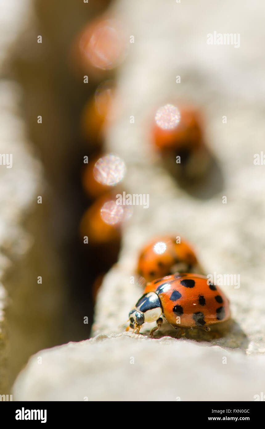 Large group of Harlequin ladybirds (Harmonia axyridis). Invasive ladybirds emerging from a crack in rocks on a sunny Stock Photo