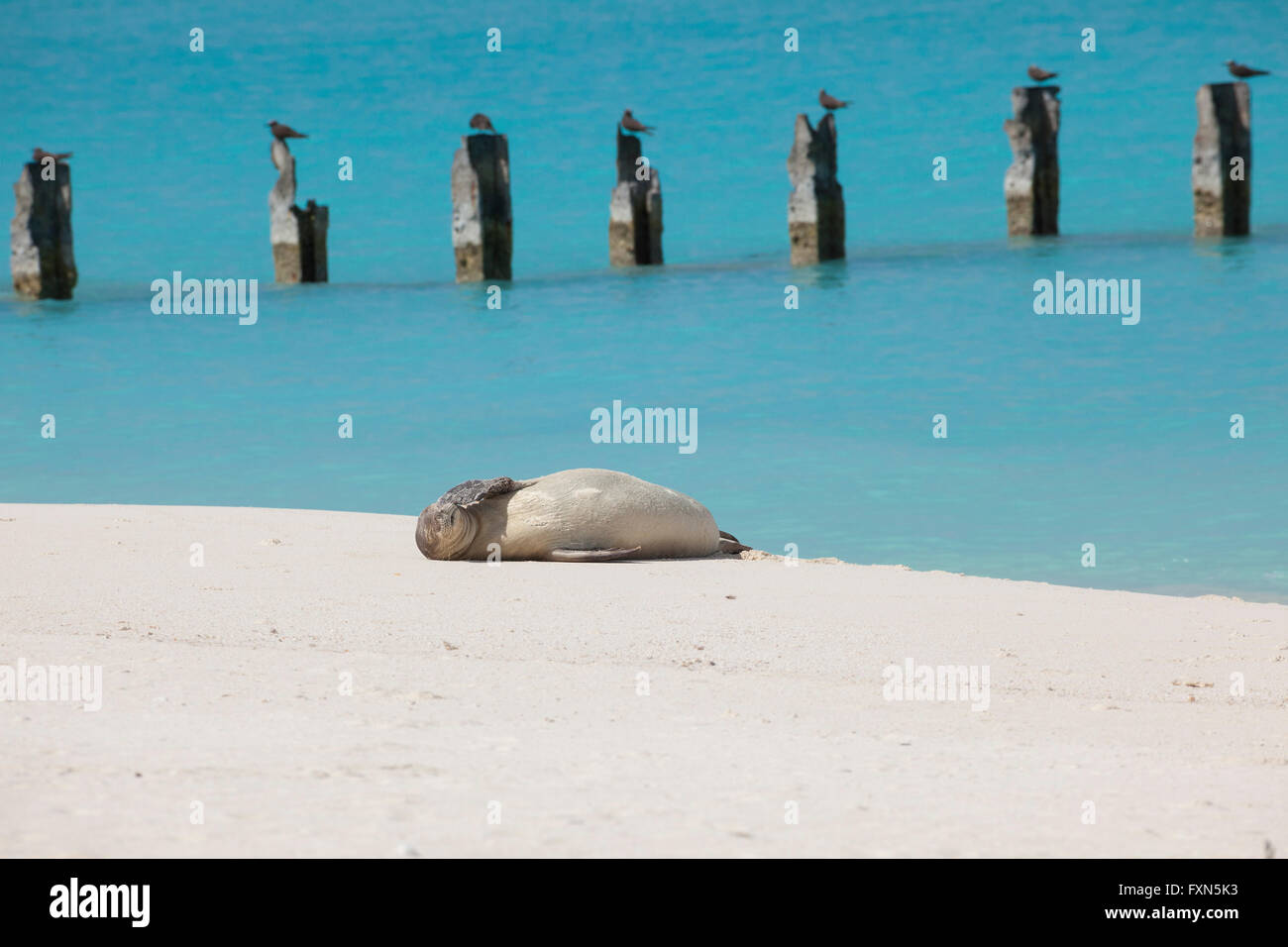 Hawaiian monk seal, Neomonachus schauinslandi, Critically Endangered Species, endemic to Hawaii, Sand Island, Midway - Stock Image