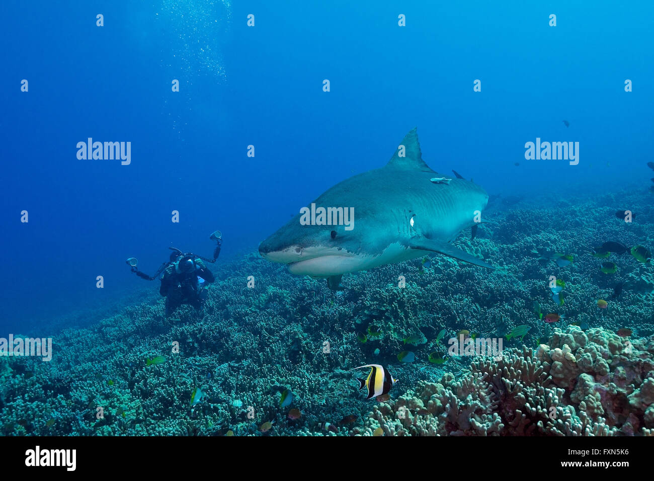 diver photographing tiger shark, Galeocerdo cuvier, on coral reef, with moorish idol, Zanclus cornutus, Kona, Hawaii, - Stock Image