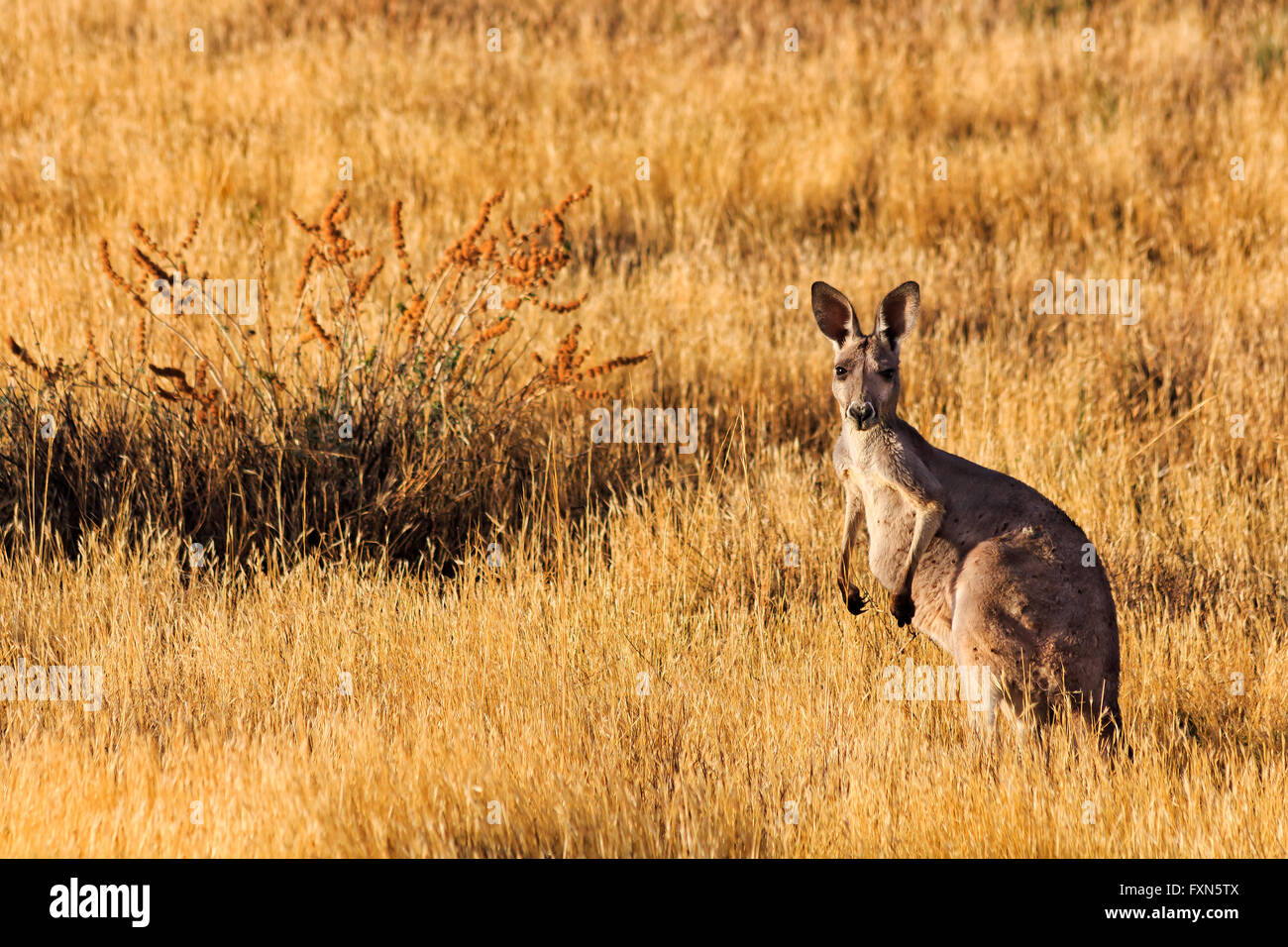 Tall standing kangaroo against yellow brown grassy background of its natural habitat in Flinders Ranges national - Stock Image