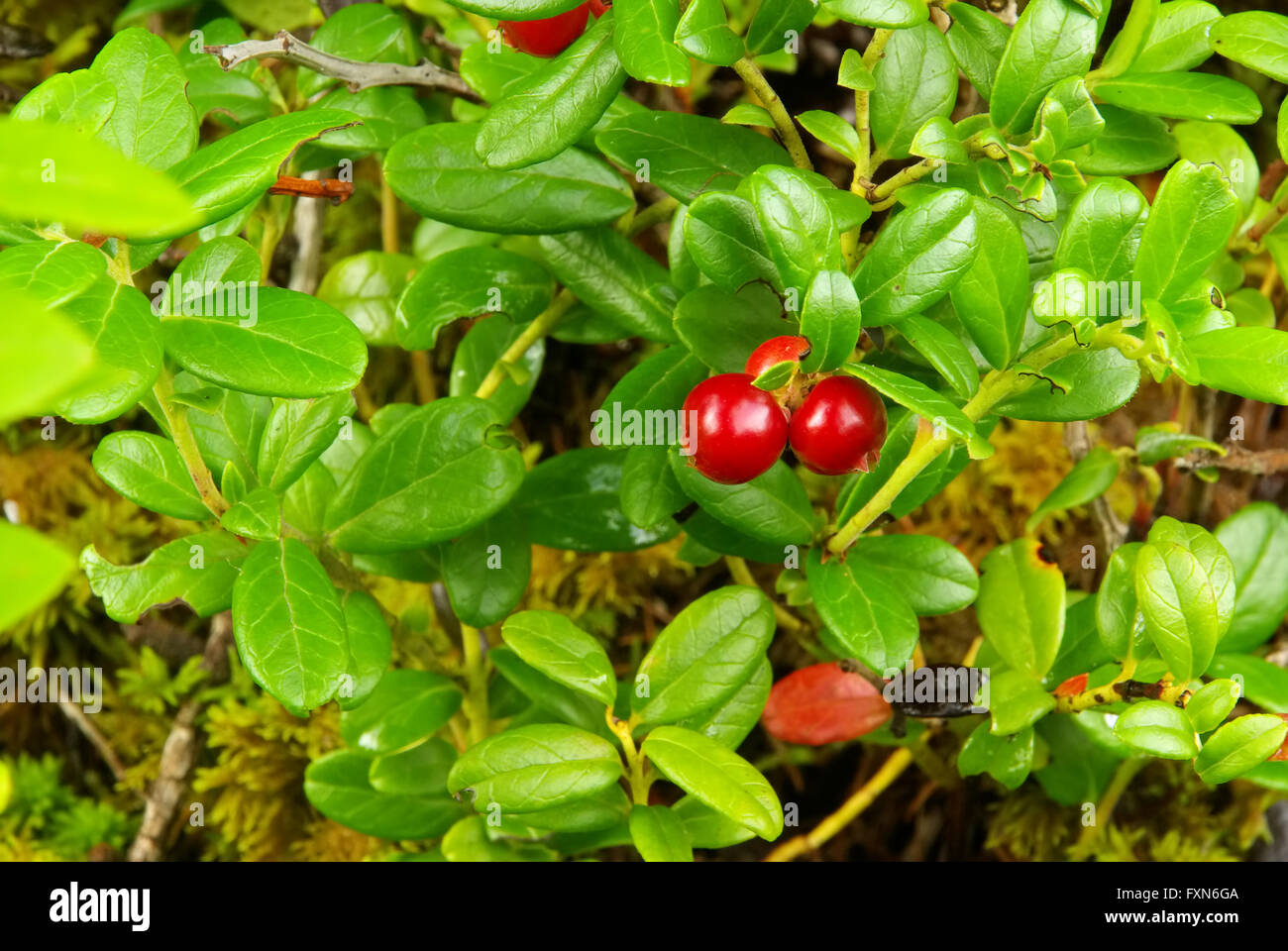 Preiselbeere Pflanze - cowberry plant 08 - Stock Image