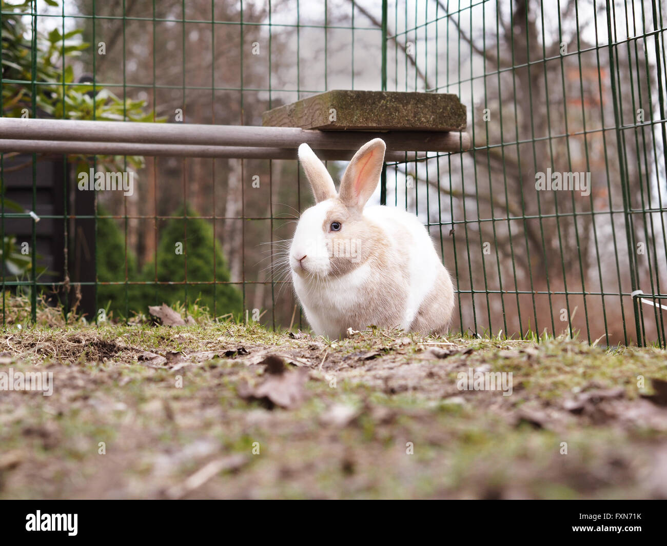 Brown And White Bunny Rabbit Outside Mix Of Flemish Giant