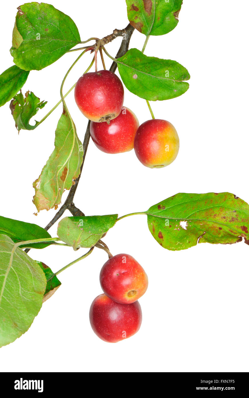 Twig with crabapples, Malus, isolated - Stock Image