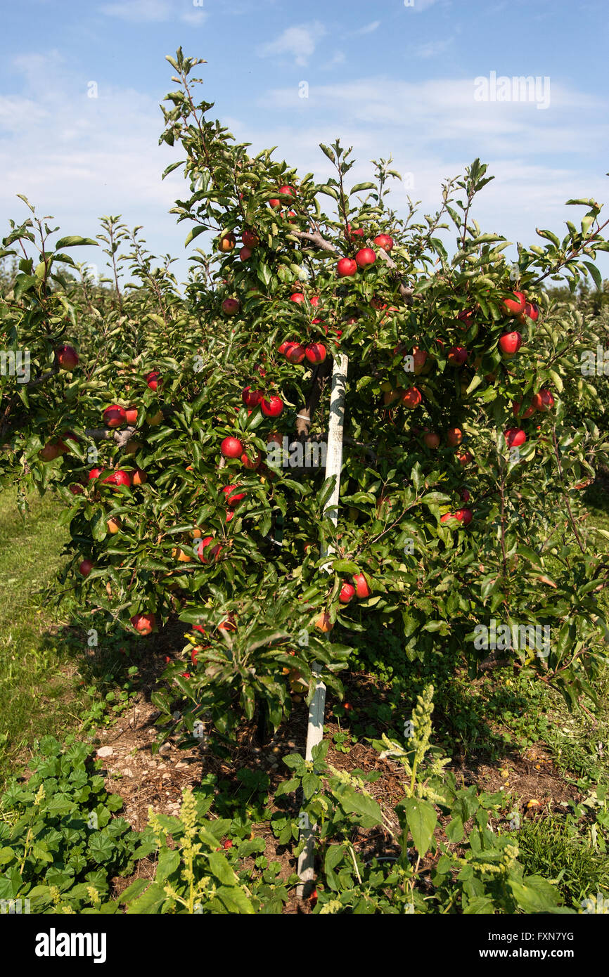Apple orchard in Prince Edward County, Ontario. - Stock Image