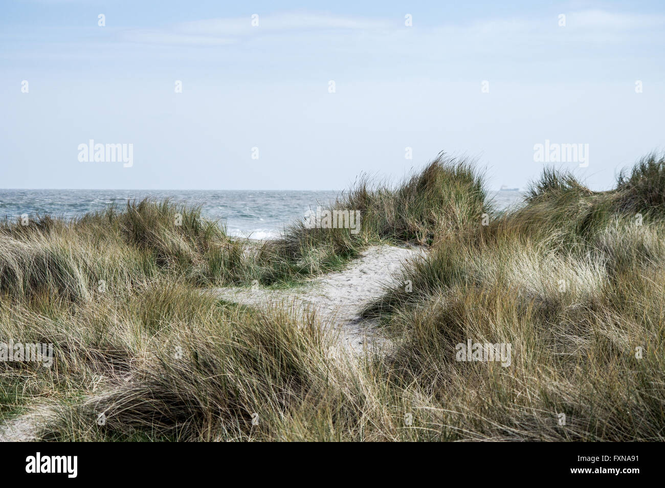 Maram grass growing along Dollymount Strand in Bull Island, Dublin - Stock Image
