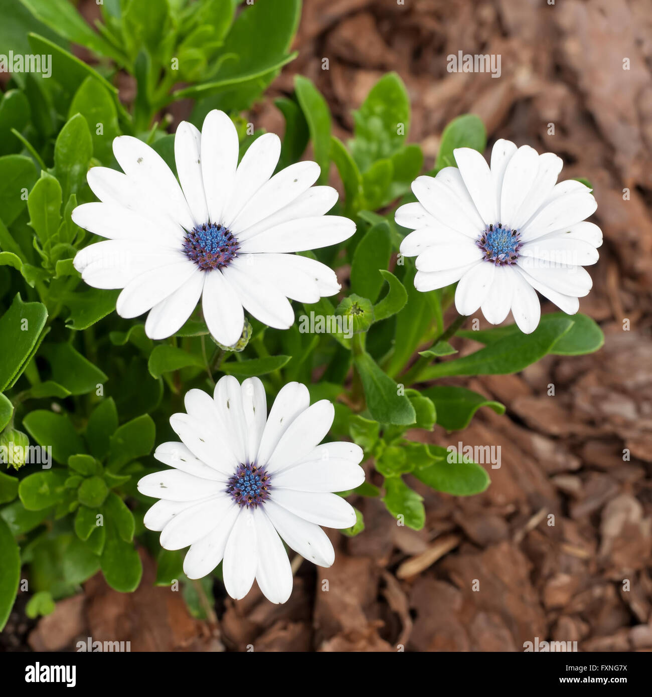 South African Daisy Stock Photos South African Daisy Stock Images