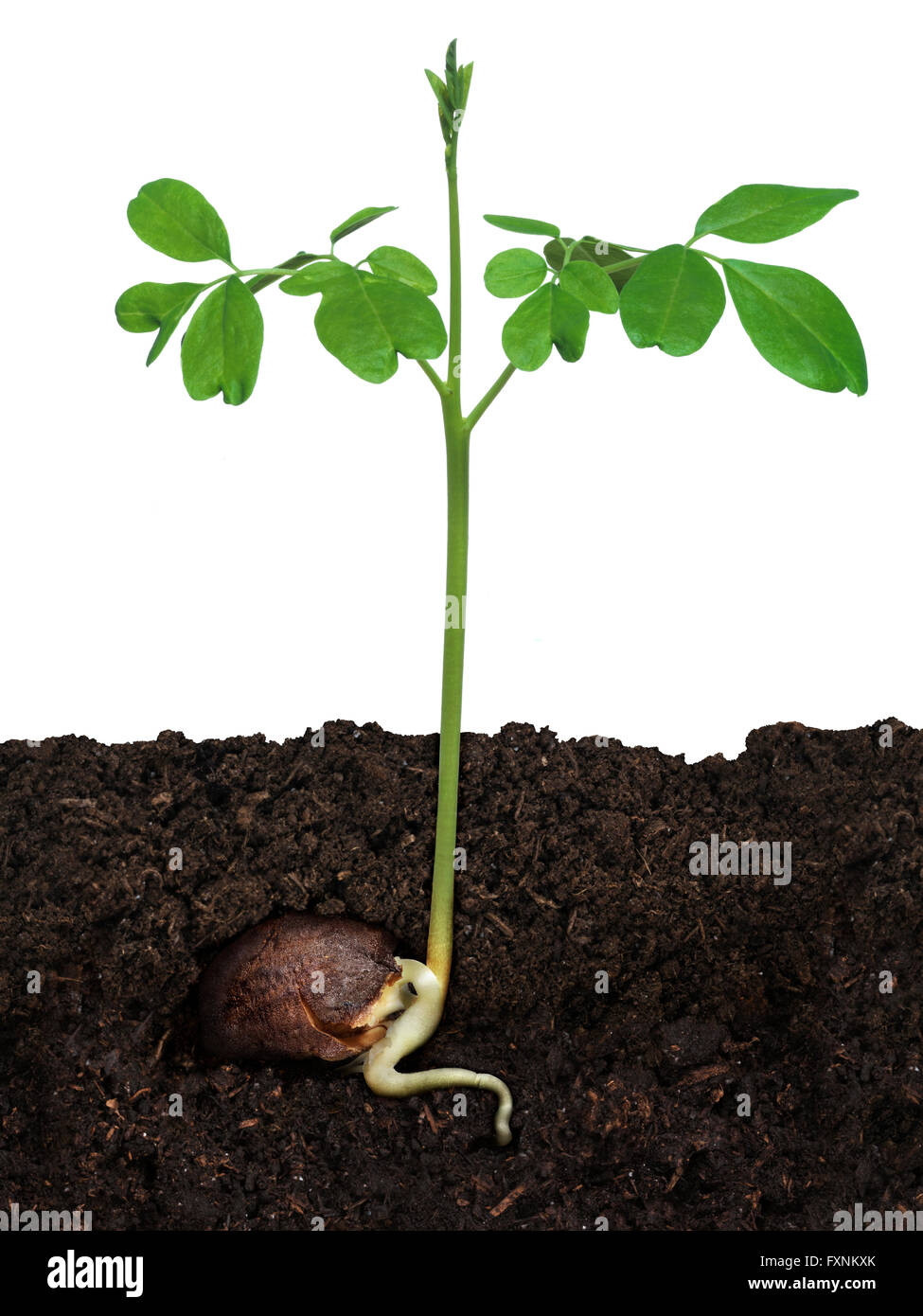 Moringa (Moringa oleifera) plant growing from a seed in soil - Stock Image