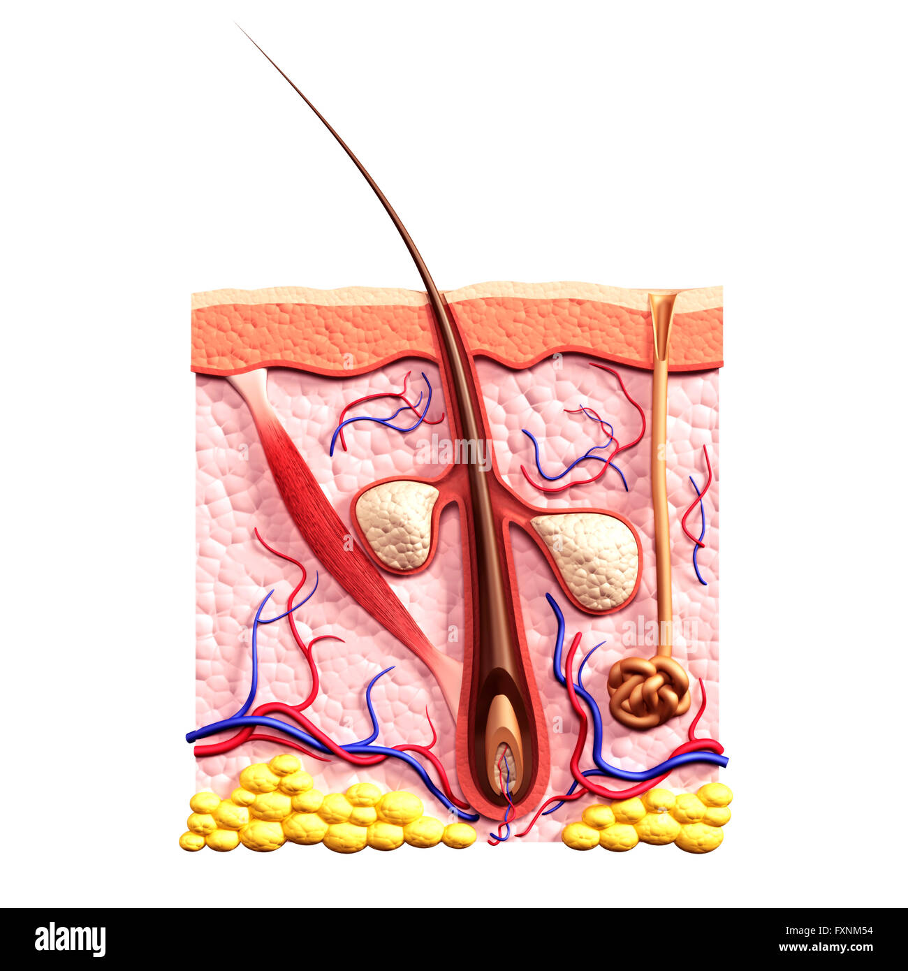 Cross section of skin showing hair follicle, sebaceous glands, sweat gland and arrector pili muscle structure, 3D - Stock Image