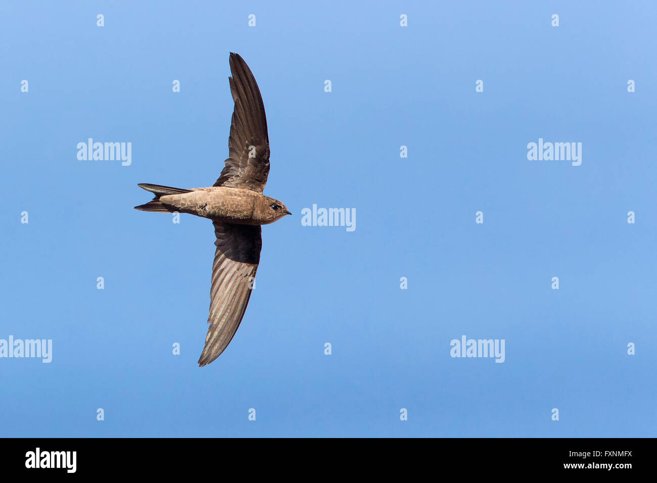 Cape Verde Swift (Apus alexandri), adult in flight, Sao Nicolau, Cape Verde - Stock Image